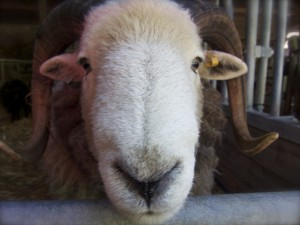 Herdwick: cute, but not a fleece for beginners