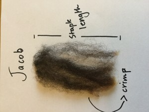 Jacob lock from raw fleece. Nice staple length and crimp, no breakage or second cuts